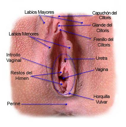La vulva y otras estructuras vesticulares