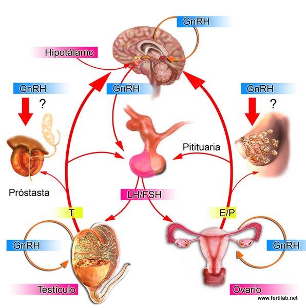 ciclos esteroides mujeres