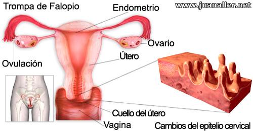 Cuello del útero